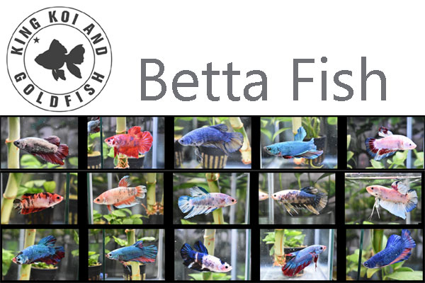 Betta Fish California