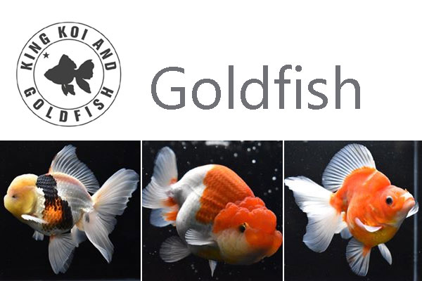 Goldfish Supply California