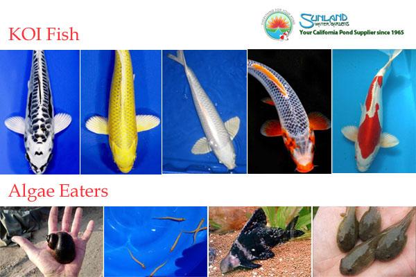 KOI Fish supply California